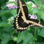 012 Butterflies Photo Album-BMIF