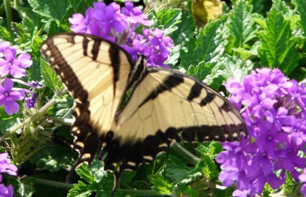 013 Butterflies Photo Album-BMIF