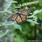 019 Butterflies Photo Album-BMIF